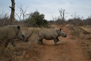 A baby white rhino walking in front of its mother.