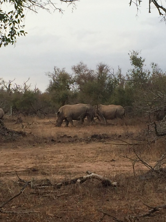 Rhinos at Hlane